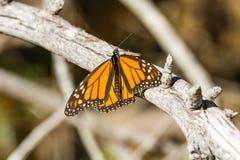 Fjäril för manlig monark som vilar på en filial, Half Moon Bay, Kalifornien royaltyfri foto