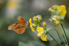 Fjäril för nymphalidae för Julia fjärilslepidoptra på vibrerande skrän Royaltyfri Bild