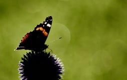 Fjäril för röd amiral på echinopsblomman mot grön suddig bakgrund arkivbild