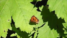 Fjäril för röd amiral som värme dess vingar i sommarsol stock video