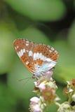 Fjäril för vit amiral, Limenitis camilla Royaltyfria Bilder