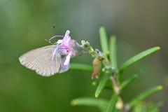 Fjäril för vit för kål för Pierisrapae liten Royaltyfria Foton