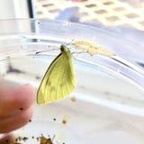 Fjäril för vit kål fotografering för bildbyråer