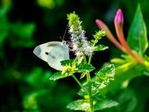 Fjäril för vit kål på små vita blommor 3 arkivbilder