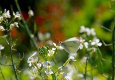 Fjäril för vit kål som sätta sig på den vita blomman Royaltyfri Bild