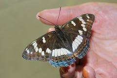 Fjäril förestående Arkivfoton