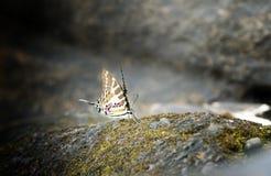 Fjäril fläcken Swordtail arkivfoto