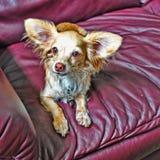 Fjäril-gå i ax hund Royaltyfri Fotografi