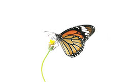 Fjäril (gemensam tiger) och blomma som isoleras på vit bakgrund Arkivfoto
