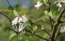 Fjäril i äppleträd Fotografering för Bildbyråer