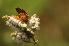 Fjäril i en blomma Arkivfoton
