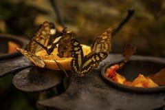 Fjäril i en tropisk skog, Costa Rica arkivfoton
