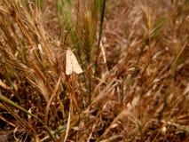 Fjäril i ett rött gräs Arkivfoto