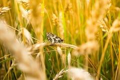 Fjäril i ett vete Arkivbild