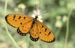 Fjäril i gräset Arkivfoton