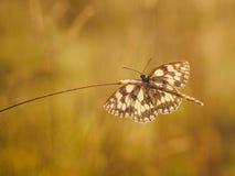 Fjäril i guld- ljus Royaltyfria Foton