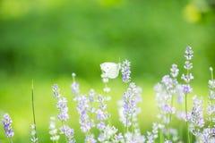 Fjäril i lavendelfält Arkivbild