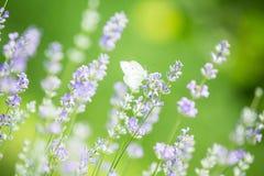 Fjäril i lavendelfält Fotografering för Bildbyråer