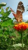 Fjäril i morgonen Fotografering för Bildbyråer