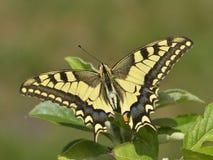Fjäril i natur Arkivbild