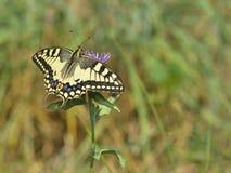 Fjäril i naturen - Iphiclides podalirius Arkivbilder