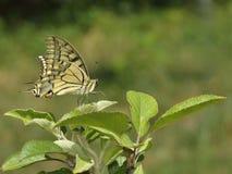 Fjäril i naturen - Iphiclides podalirius Fotografering för Bildbyråer