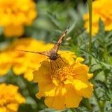 Fjäril i trädgård Royaltyfria Bilder