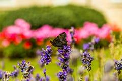 Fjäril i trädgård Arkivfoton