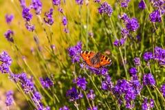 Fjäril i trädgård Fotografering för Bildbyråer