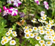 Fjäril i trädgården Arkivfoton