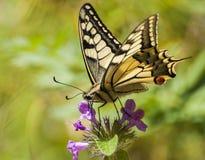 Fjäril i trädgården i en solig dag Arkivfoto