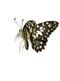 Fjäril i vit bakgrund arkivfoton