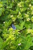 Fjäril i vit växt av släktet Trifolium Royaltyfri Bild
