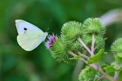 Fjäril imago, Pierid rzepnik, Pierisrapaeson Artogeia rapae, royaltyfri foto