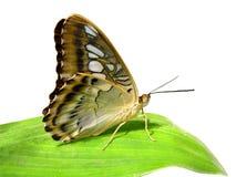 fjäril isolerad leaf Royaltyfri Bild