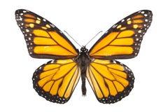 fjäril isolerad monarkwhite royaltyfria bilder