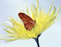 fjäril julia arkivfoton