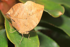 Fjäril (Kallima inachus) Arkivfoto