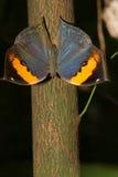 Fjäril (Kallima inachus) Arkivbild