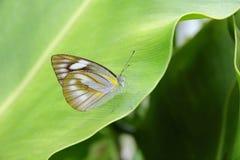 Fjäril kryp, gemensam utvandrare Royaltyfri Foto