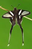 FJÄRIL. Lamproptera meges Arkivfoto
