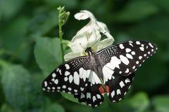 Fjäril (limefruktfjärilen) Fotografering för Bildbyråer