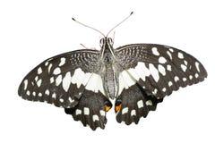 Fjäril (limefruktfjärilen) Royaltyfri Bild