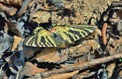 Fjäril (Luehdorfia puziloi) 1 Royaltyfri Fotografi