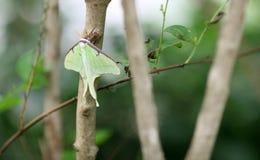 Fjäril Luna Moth Arkivfoton