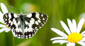fjäril marmorerad white Royaltyfri Bild