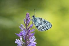 fjäril marmorerad white Royaltyfria Bilder