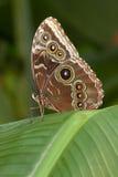 Fjäril med ögonvingar Arkivfoto