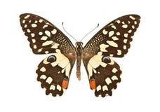 Fjäril med öppna vingar i en bästa sikt som ett flyg Arkivfoto