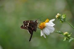 Fjäril med den vita blomman Royaltyfri Bild